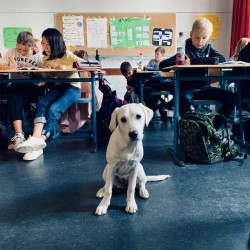 Schulhund im Vorbereitungsdienst